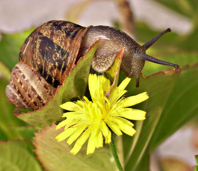 L'escargot amoureux d'une fleur