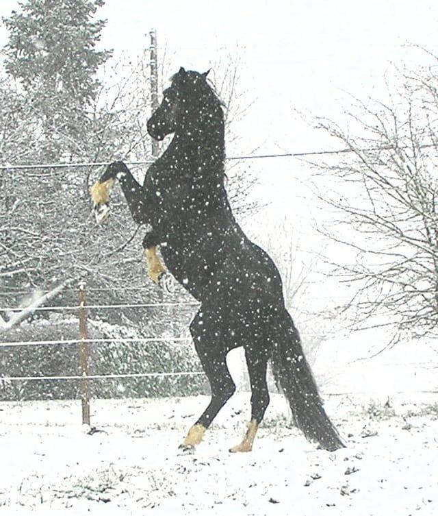 L'étalon dans la neige