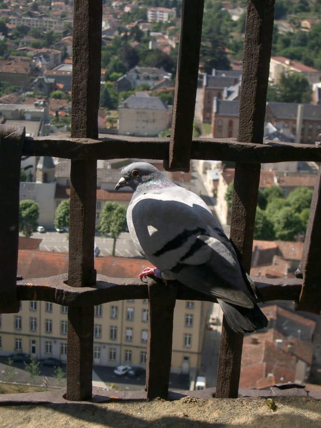 L'évasion du pigeon
