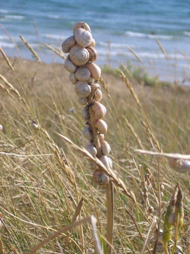 L'herbe à escargots