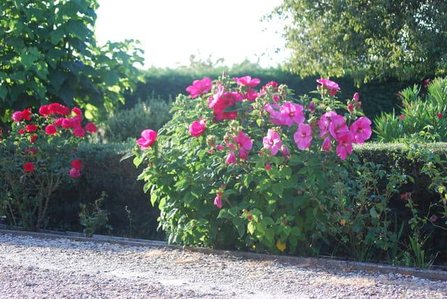 l'hibiscus rose