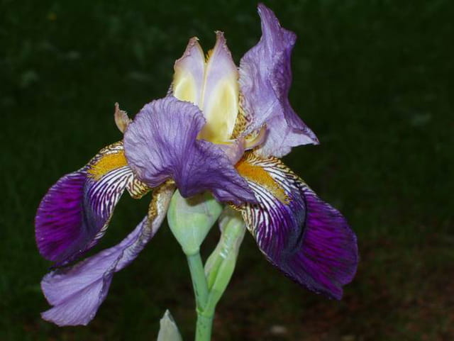 L\'iris mauve