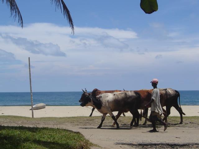L' Océan, la plage et les zébus