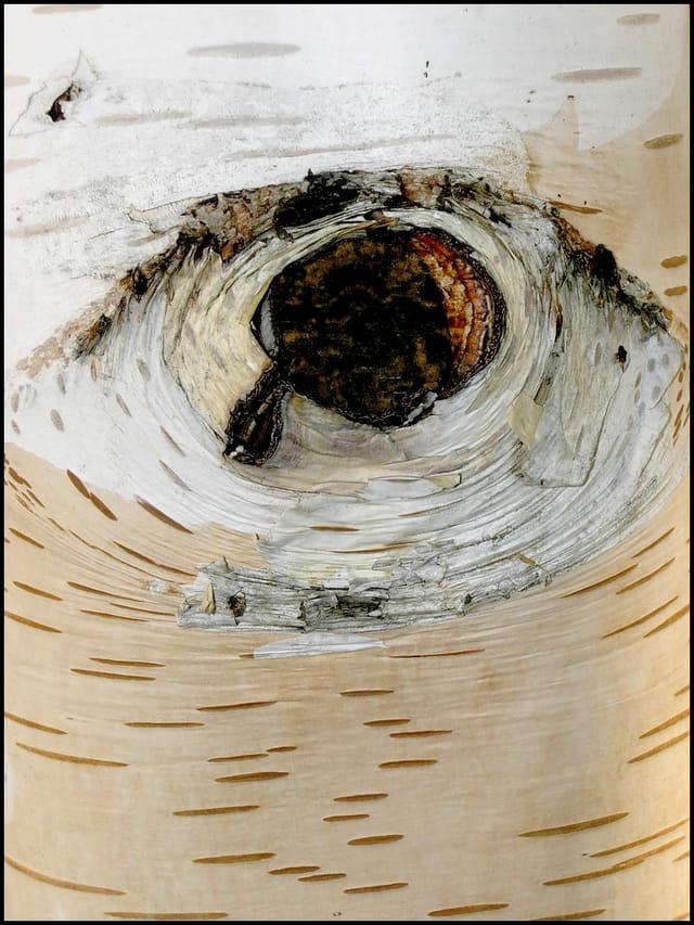 L'oeil du bouleau