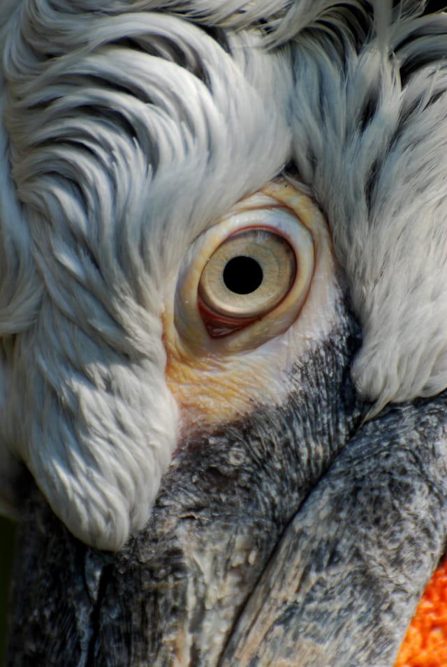 L' oeil du pélican