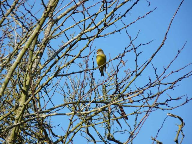L'oiseau chanteur