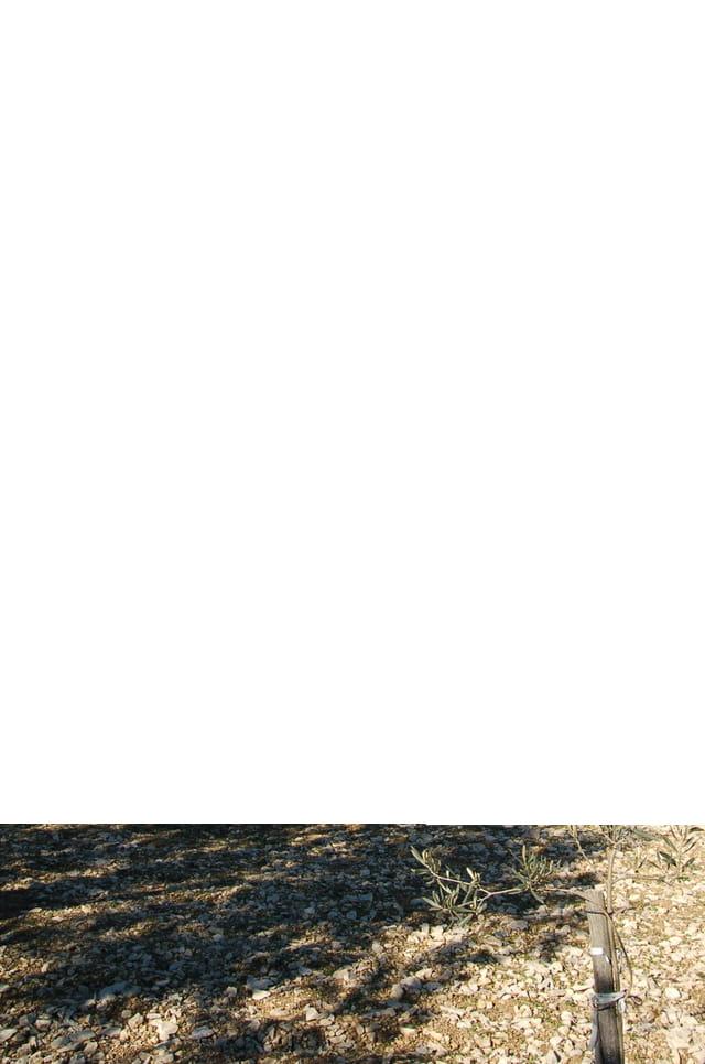 L'olivier roi de nos collines