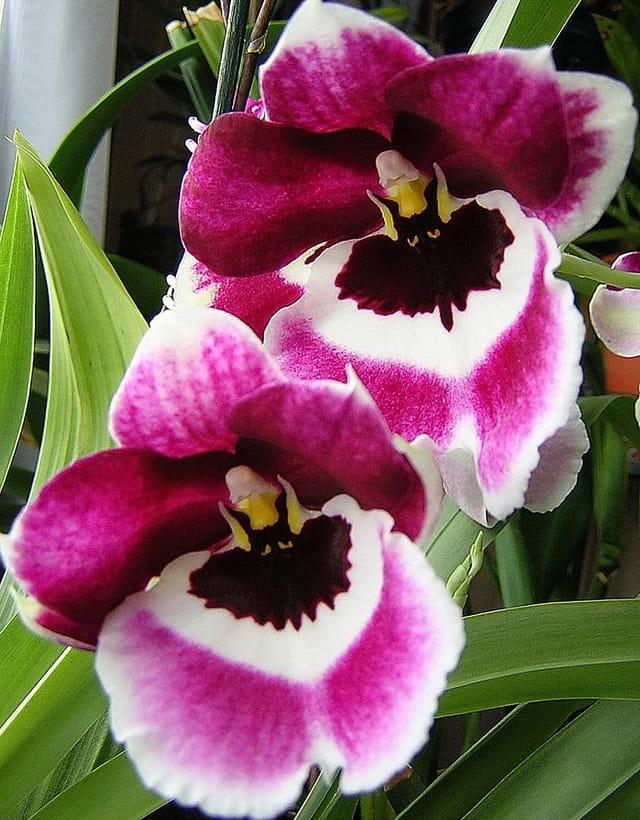 L' orchidée-pensée