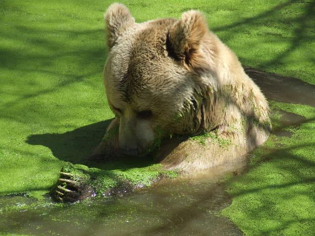 L ours et les lentilles d'eau