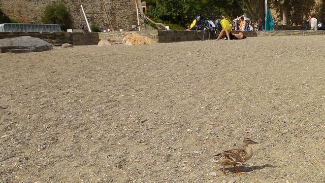 La ballade du canard...