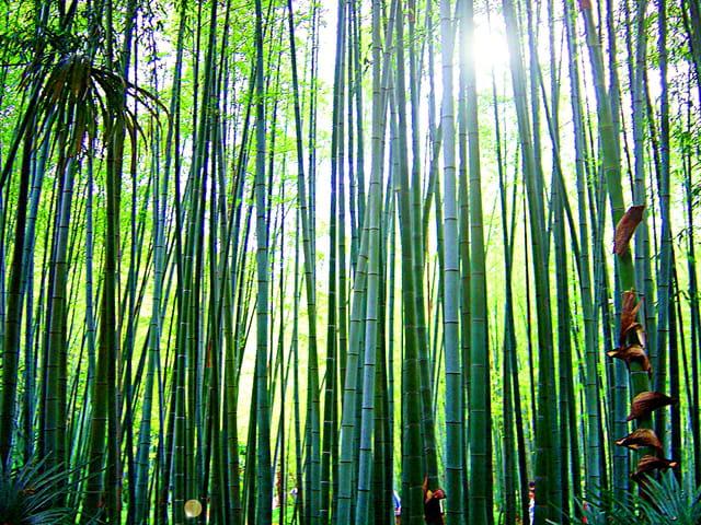 La bambouseraie d 39 anduze par lucien ruth sur l 39 internaute - La bambouseraie a anduze ...