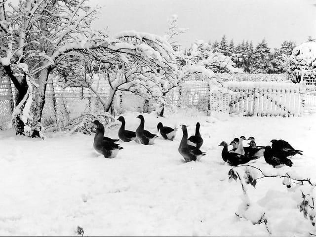 La basse-cour dans la neige