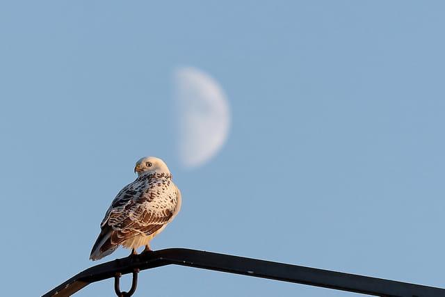 La buse et la lune