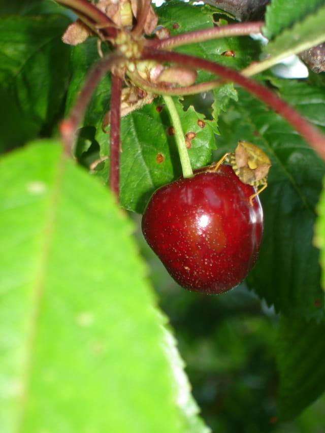 La cerise et la punaise