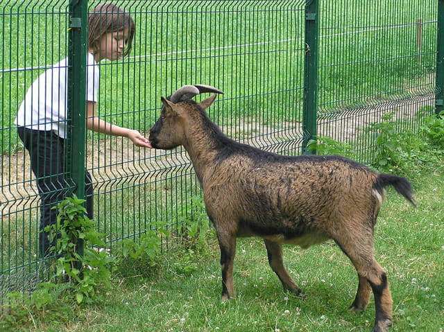 La chèvre