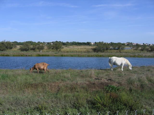 La chèvre et le poney