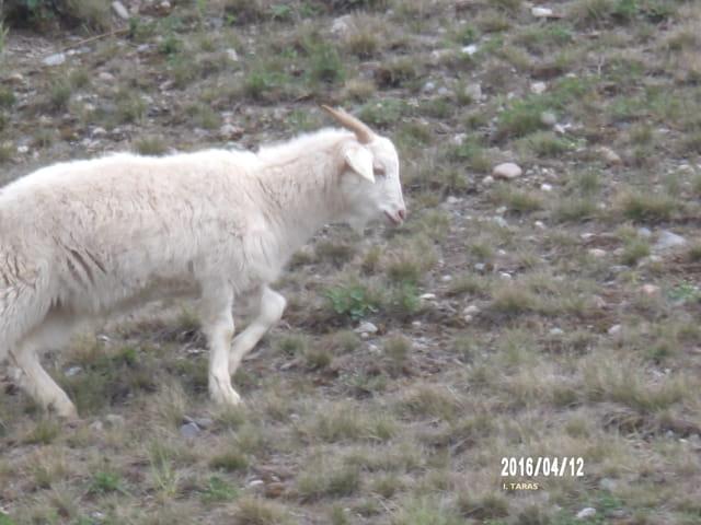 La chèvre... mais pas de M. Seguin