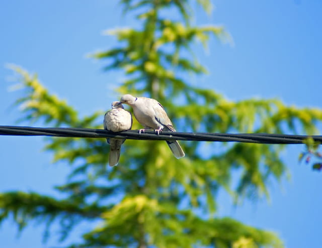La colombe amoureuse