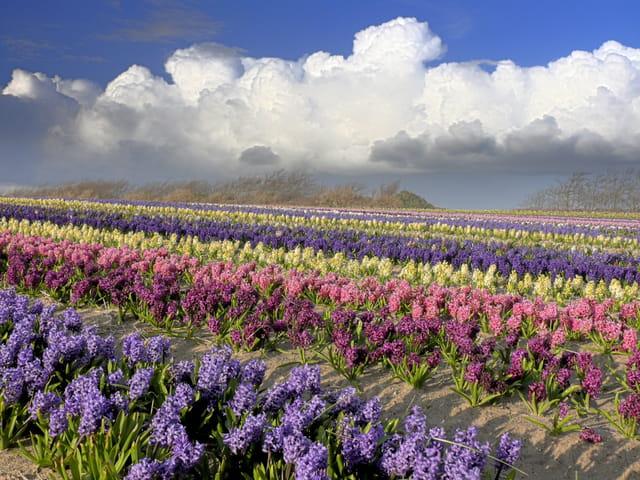 La culture de jacinthe en Bretagne
