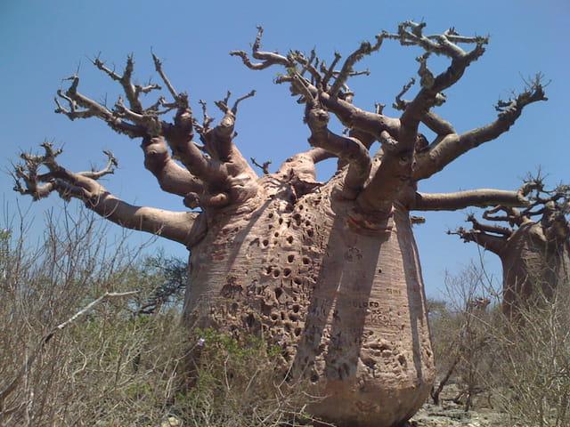 La découverte du fascinant Baobab de Morondava