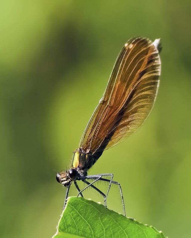 La demoiselle aux ailes d'or