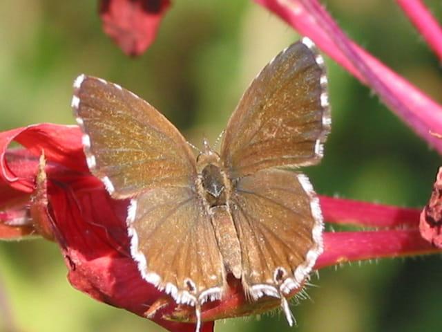 La flêche papillon