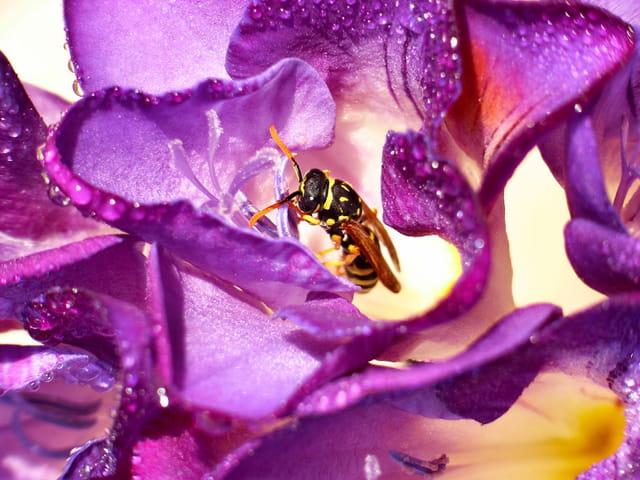 La fleur l\'abeille et la rosée