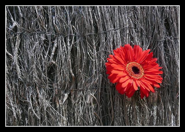 La fleur rouge.