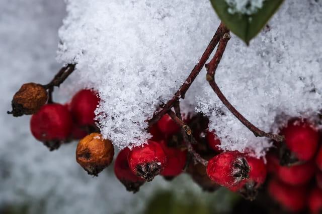 La flore en hiver sous la neige