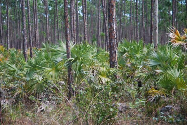 la forêt de Grand Bahamas