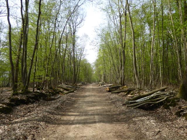 La grande allée de la forêt