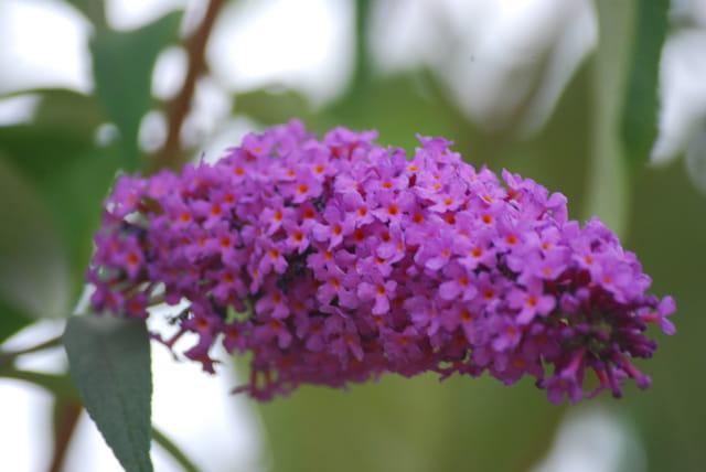 la grappe aux fleurs