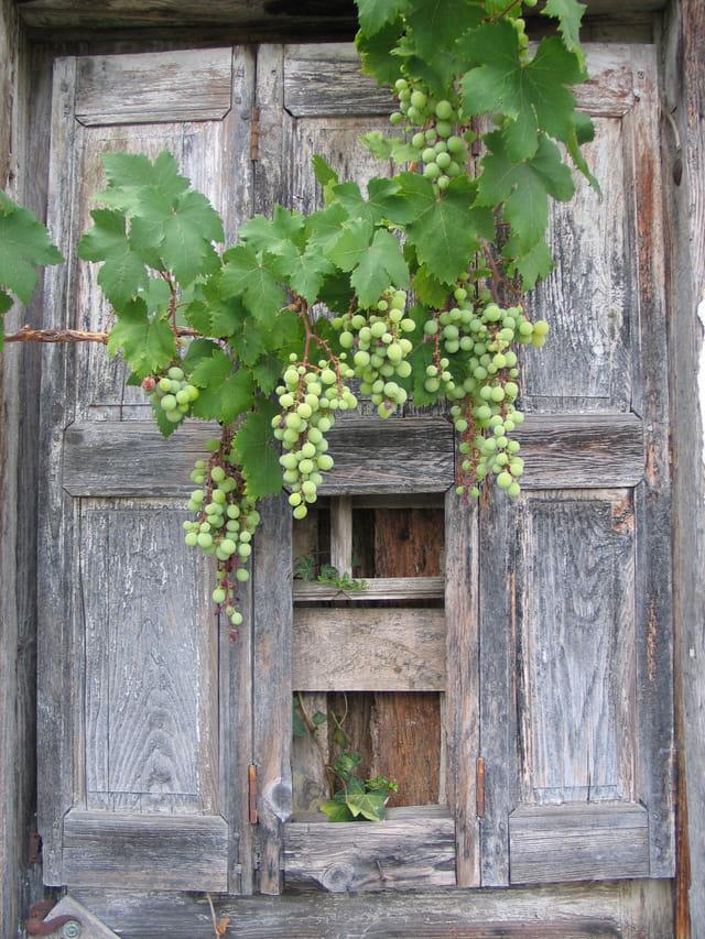 La grappe et la vielle porte