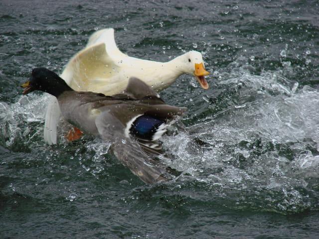 La Guerre des Canards