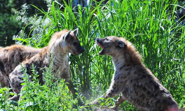 La haine des hyènes
