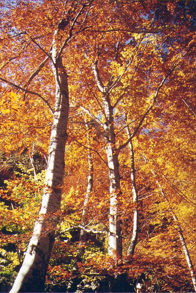 La hêtraie en automne