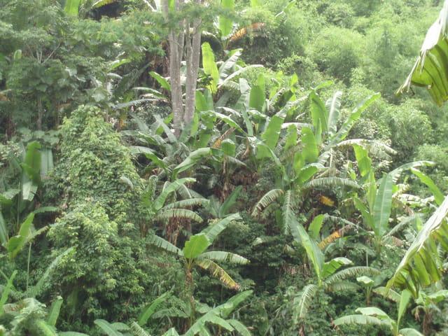 La jungle Thailandaise