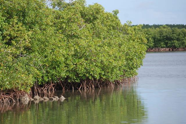 la mangrove  u00e0 petit canal par genevieve lapoux sur l