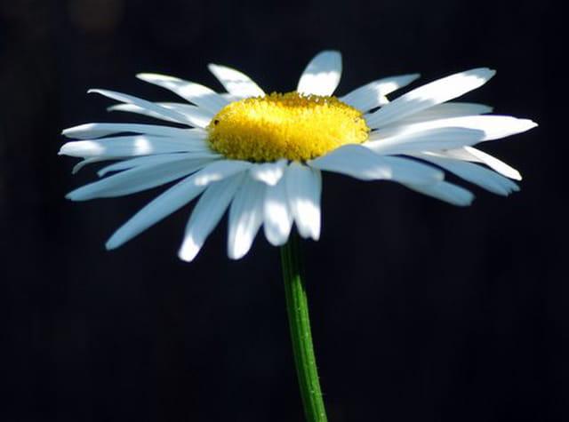 La marguerite fleur de l 39 t par genevieve lapoux sur l - Image fleur marguerite ...