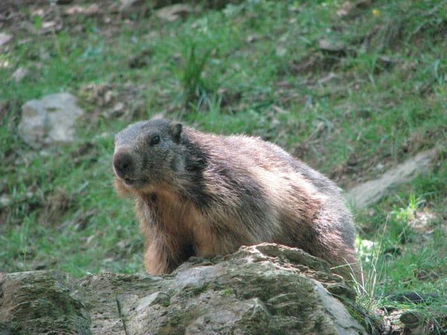 La marmotte curieuse