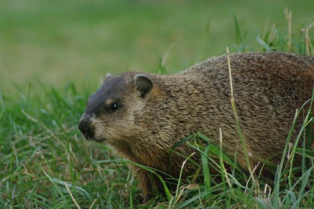 La marmotte de Montréal