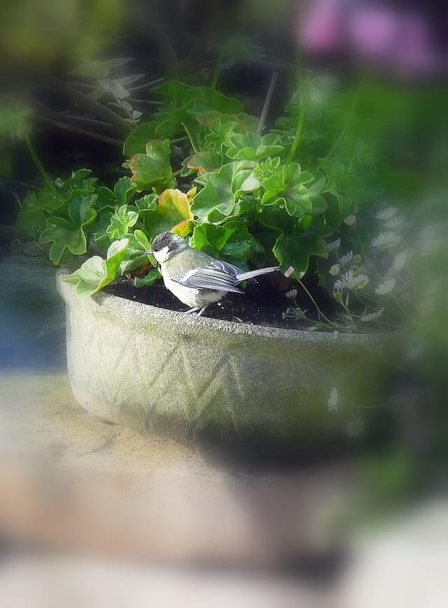 La mésange s'invite dans la jardinière