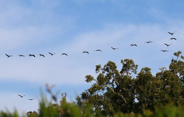 La migration des grues