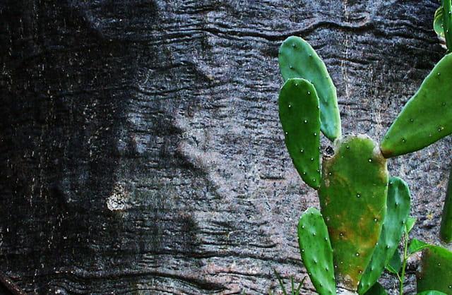 La peau du baobab