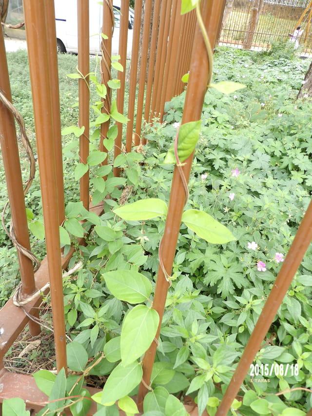 La plante amoureuse