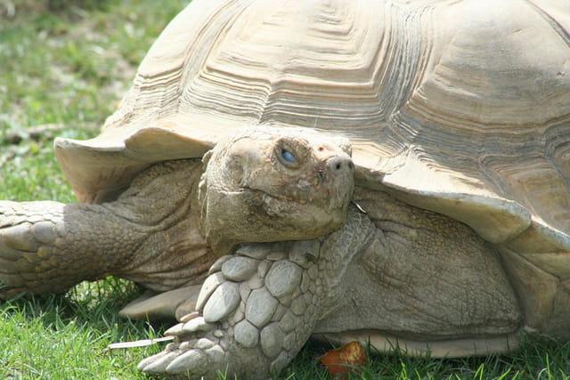 La pose de la tortue
