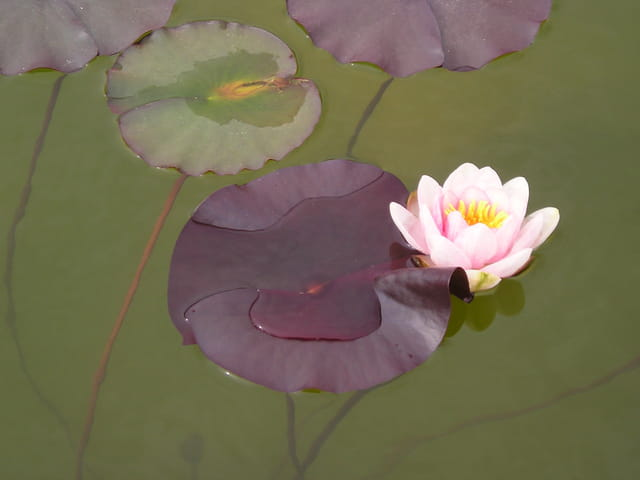 La premiere fleur de nenuphar