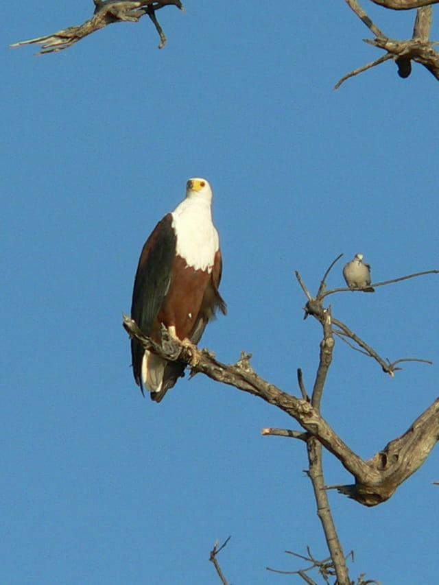 La rencontre improbable de l'aigle et du pigeon