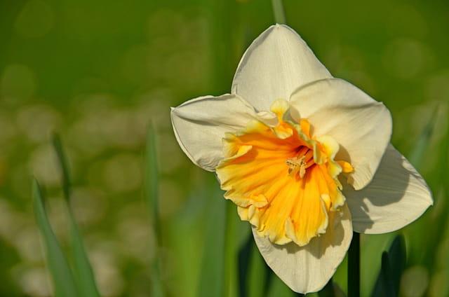 La Rochelle printanière : jonquille blanche à coeur jaune
