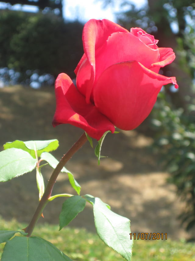 La rose Adenauer, rose de l'Amitié